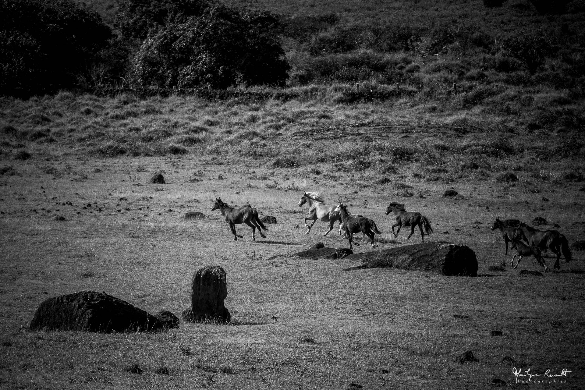 Rono_Raraku_horses
